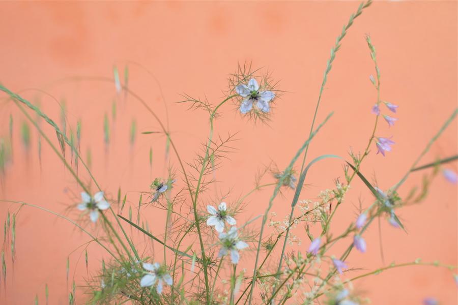 http://sophiamorenobunge.com/files/gimgs/28_img3806-campanula-rapunculus-aka-rampian-bellflower-nigella-oats-and-whipsy-white-flower-do-not-know.jpg